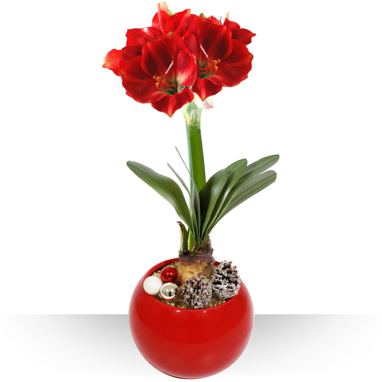 Spcial ftes amaryllis en pot for Fleurs amaryllis bouquet