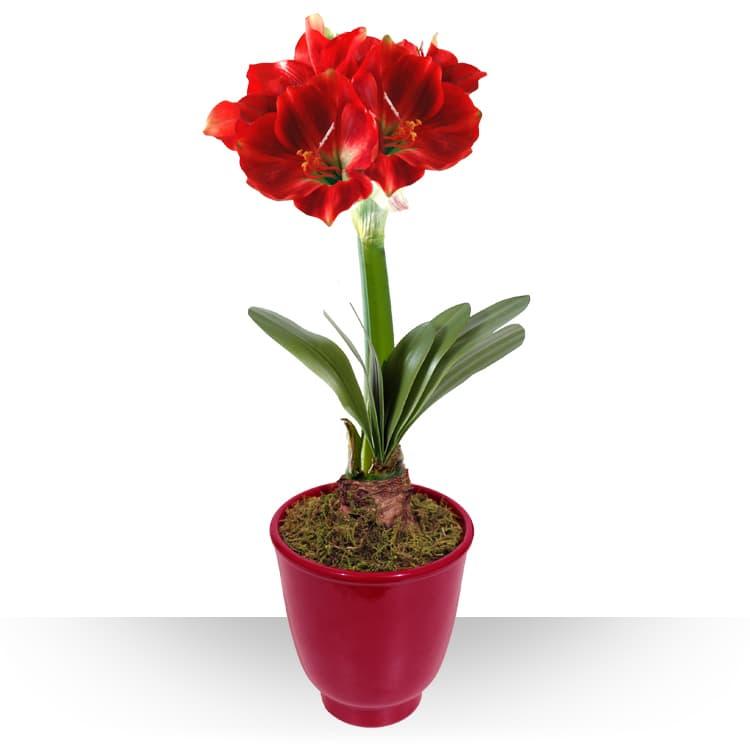 Collection hiver amaryllis en pot for Planter un bulbe amaryllis