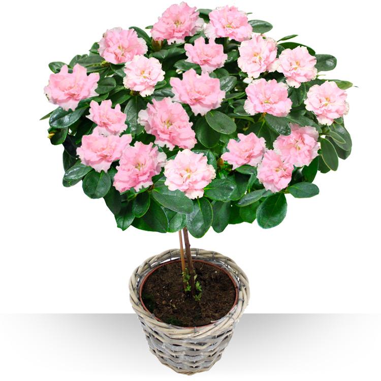 plantes azal e sur tige
