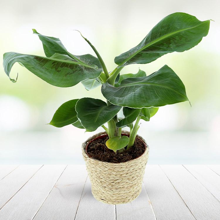 plantes bananier. Black Bedroom Furniture Sets. Home Design Ideas