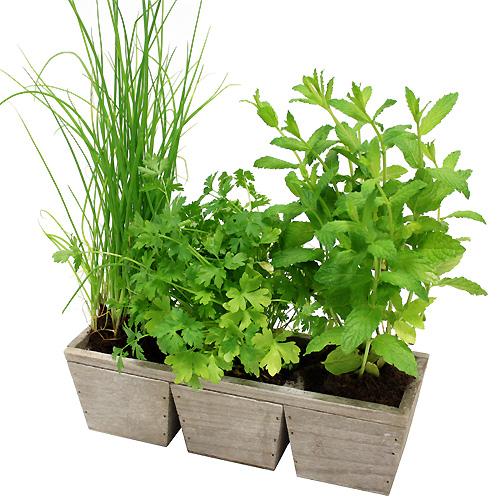 Plantes jardin aromatique for Jardin plantes aromatiques