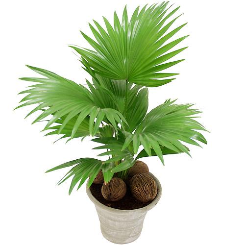 Plantes palmier d 39 asie - Puceron blanc plante verte ...