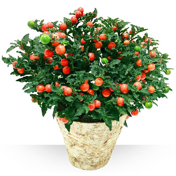 Plantes pommier d 39 amour - Pommier d amour entretien ...