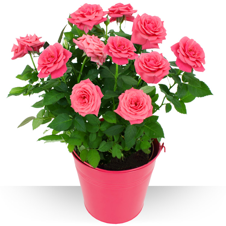 Plantes rosier - Rosier en pot soleil ...