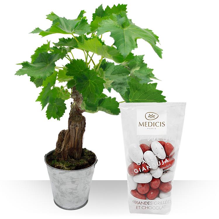 Plantes vigne en pot et gianduja - Pied de vigne en pot ...