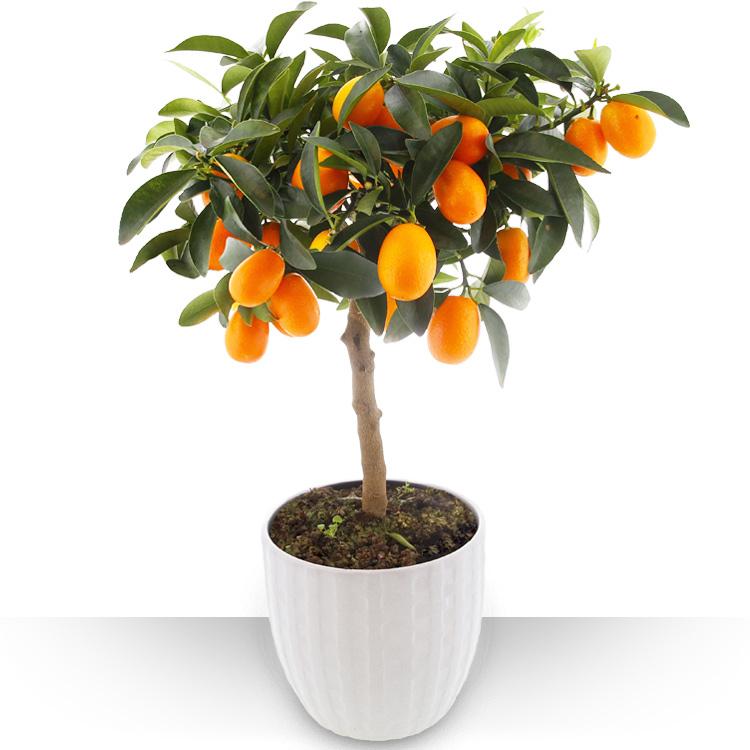 Plantes - AGRUME KUMQUAT -