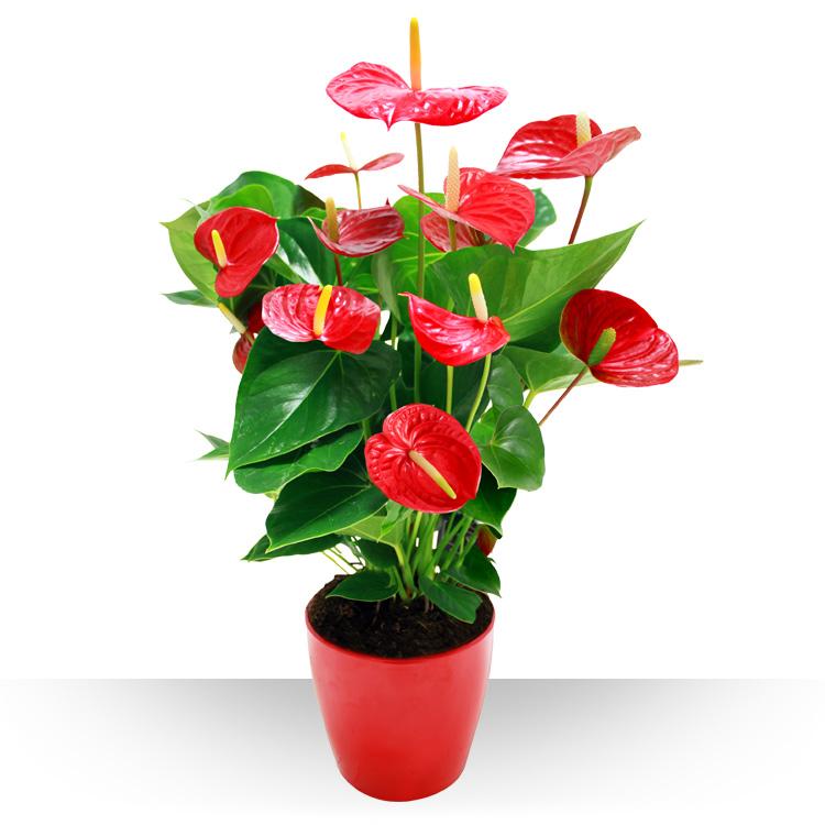 Plantes - ANTHURIUM ROUGE ET SON POT -