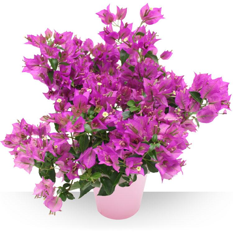 Plantes - BOUGAINVILLIER -