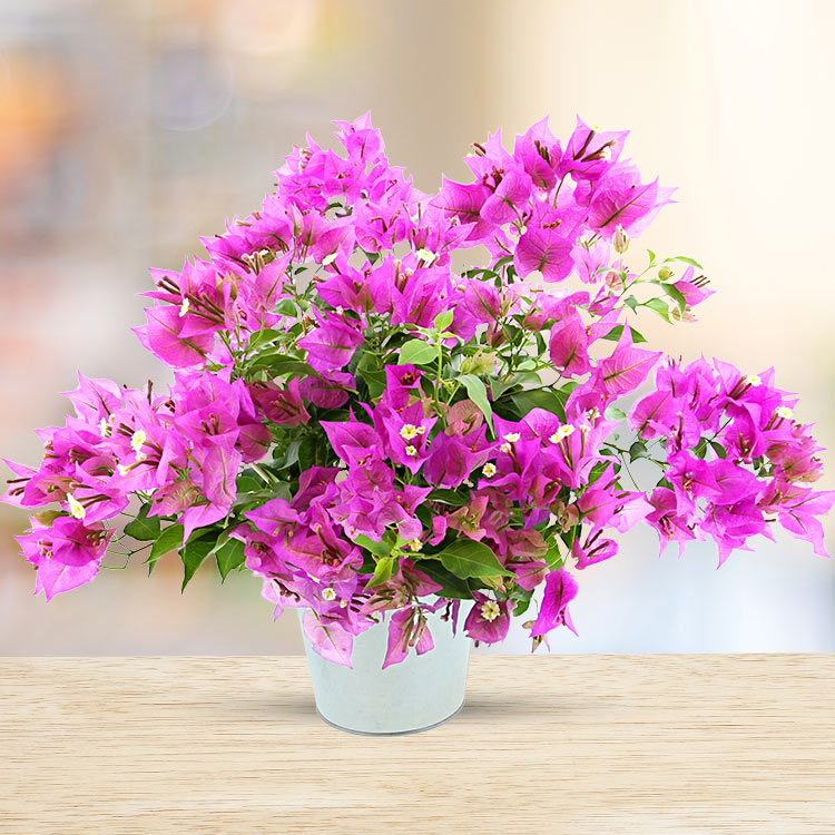 Collection Hiver - BOUGAINVILLIER -