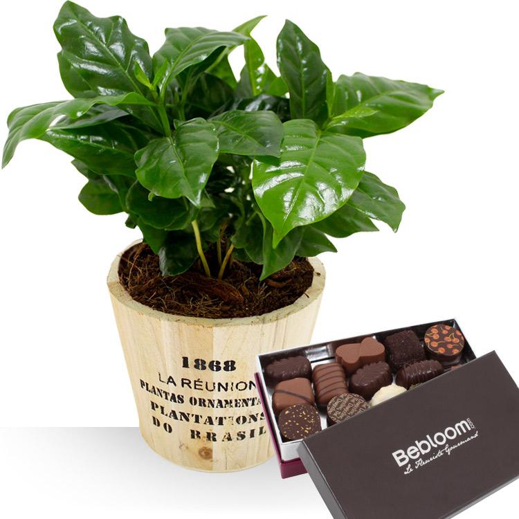 Plantes - CAFEIER ET CHOCOLATS -