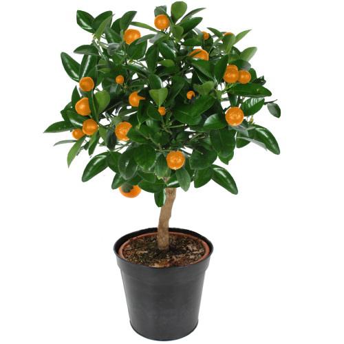 Plantes - ORANGER D'INTÉRIEUR -
