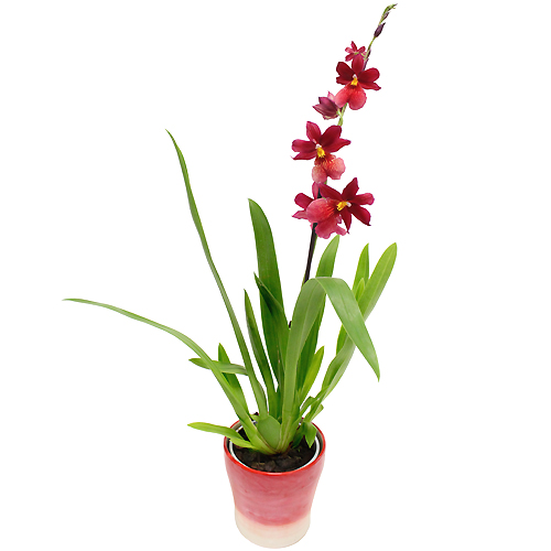 Plantes - ORCHIDÉE DE NOËL -