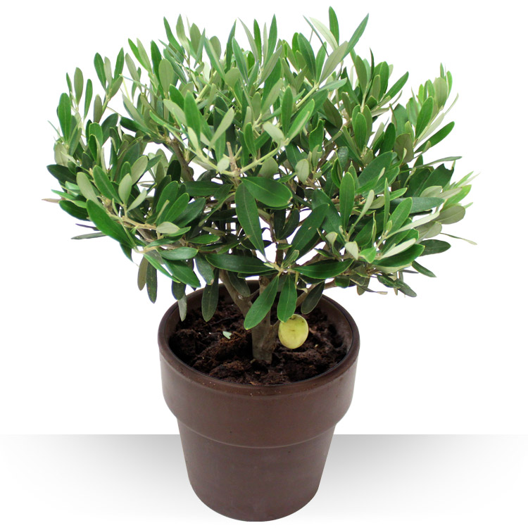 Plantes - OLIVIER -