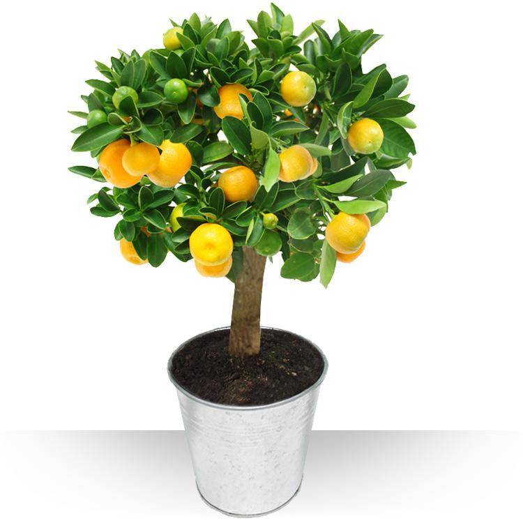 Plantes - ORANGER -