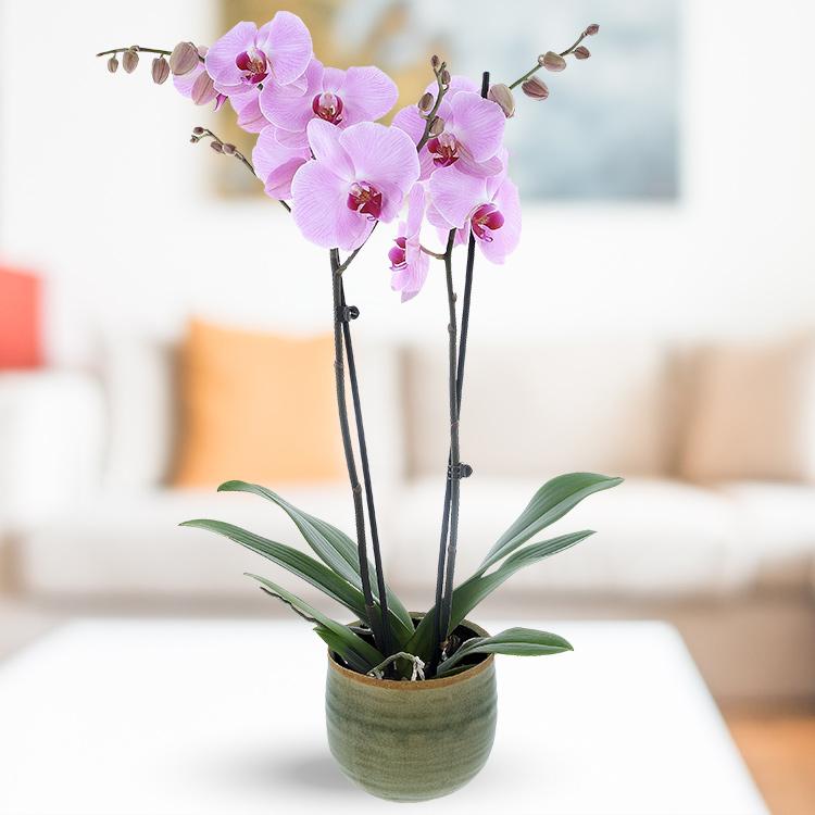Orchidee Fuchsia