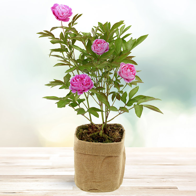 Collection Printemps - PIVOINE EN POT -
