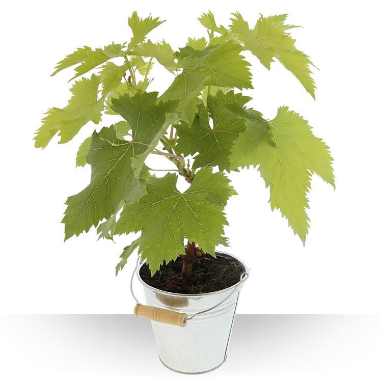 Plantes - VIGNE -