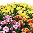 2-chrysanthemes-varies-1669.jpg