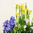 Coupe-de-plantes-avec-jonquilles_VZoom.jpg