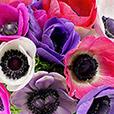 anemones-30-1882.jpg