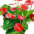 anthurium-rouge-et-son-pot-2035.jpg