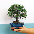 bonsai-6567.jpg