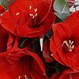 bouquet-d'amaryllis-rouge-3424.jpg