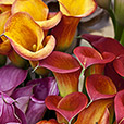 bouquet-de-callas-multicolores-6518.jpg