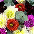 bouquet-de-dahlias-multicolores-5177.jpg