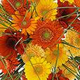 bouquet-de-germinis-tons-chauds-2528.jpg