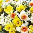 bouquet-de-narcisses-et-son-masque-b-4025.jpg