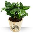 Plantes - CAFEIER -