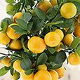 calamondin-et-ses-citronnades-alain--6738.jpg