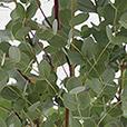 eucalyptus-2814.jpg