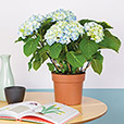 Collection Automne - HORTENSIA -