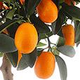 kumquat-2460.jpg