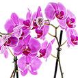 orchidee-de-noel-2110.jpg