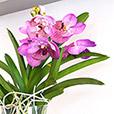 orchidee-vanda-lhassa-5272.jpg
