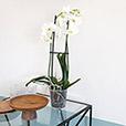 phalaenopsis-nevada-5264.jpg