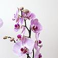 phalaenopsis-rose-et-son-cache-pot-5268.jpg