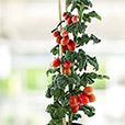pied-de-tomates-cerises-et-son-rose--6733.jpg