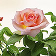 rosier-de-jardin-6635.jpg