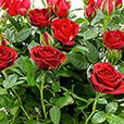 rosier-rouge-1971.jpg