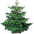 <b>Sapin de Noël</b> - SAPIN 2M25 - 2M50 -