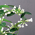 stephanotis-6338.jpg