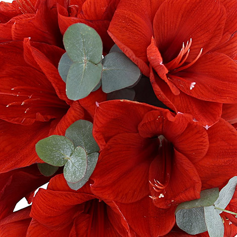 bouquet-d-amaryllis-rouge-4135.jpg