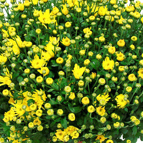 chrysantheme-895.jpg
