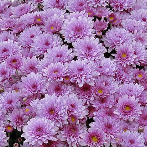chrysantheme-parme-894.jpg