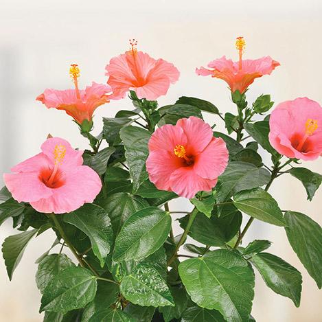 hibiscus-et-son-cache-pot-6902.jpg