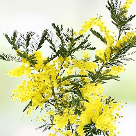 mimosa-7799.jpg